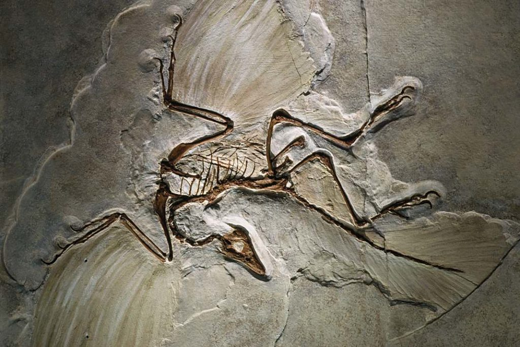 Archaeopteryx_fossil+1